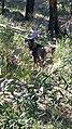 A Wild Goat.jpg