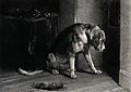 A bloodhound with a heavy collar is looking intently towards Wellcome V0020853.jpg