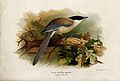 A blue-winged magpie (Cyanopica cooki). Chromolithograph by Wellcome V0022217.jpg