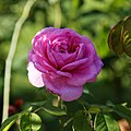 A deep pink rose Capel Manor College Gardens Enfield London England 2.jpg