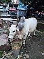 A grown North Bengal Grey Cattle in Dhaka.jpg