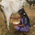 A lady milking a cow.png