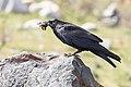 A raven scavenges a frog (707bca95-008b-41b8-9941-1705e98fa582).jpg