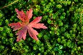 A red leaf stands out against lively green plants.jpg