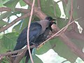 A rookery and a crow.jpg