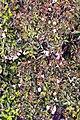 Abelia x grandiflora Edward Goucher 4zz.jpg