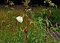 Abelmoschus manihot ssp tetraphyllus W IMG 2169.jpg