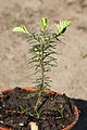 Abies grandis seedling 3.JPG