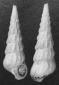 Abyssochrysos melanioides shell 2.png