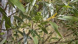 Acacia holosericea - Image: Acacia holosericiea flowers, foliage and pods