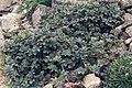Acaena argentea.jpg