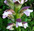 Acanthus. - Flickr - gailhampshire.jpg