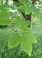 Acer maximowiczianum kz01.jpg