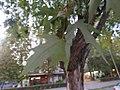 Acer palmatum, Niš, Srbija.jpg