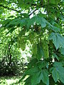 Acer pseudoplatanus, May 2008, Prague, Czech Republic.jpg