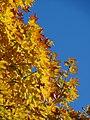 Acer saccharum, Royce Valley, NJ 4.jpg