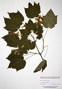 Acer spicatum BW-1979-0731-9855.jpg