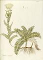 Achillea crithmifolia.png