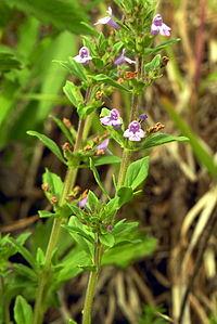 Acinos arvensis 2006-06-26a