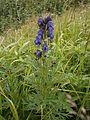 Aconitum napellus RHu 01.JPG
