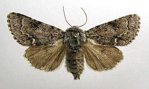 Heidemoor-Rindeneule (Acronicta menyanthidis)
