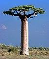 Adansonia Grandidieri Baobab Morondava Madagascar.jpg