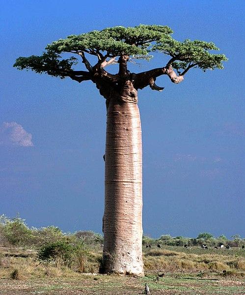 Baobab - Africa