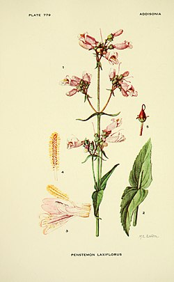 Addisonia - colored illustrations and popular descriptions of plants (1916-(1964)) (16746989656).jpg