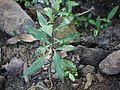 Adenostemma lavenia (L.) Kuntze (8235234076).jpg