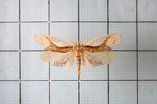 <i>Aeolanthes</i> Genus of moths
