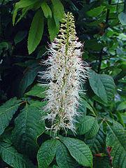 180px-Aesculus-parviflora.jpg