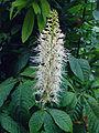 Aesculus-parviflora.jpg