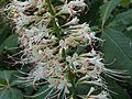 Aesculus parviflora 2-OB9.jpg