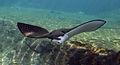 Aetobatus narinari 002.jpg