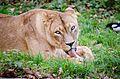 African Lion (22909832509).jpg