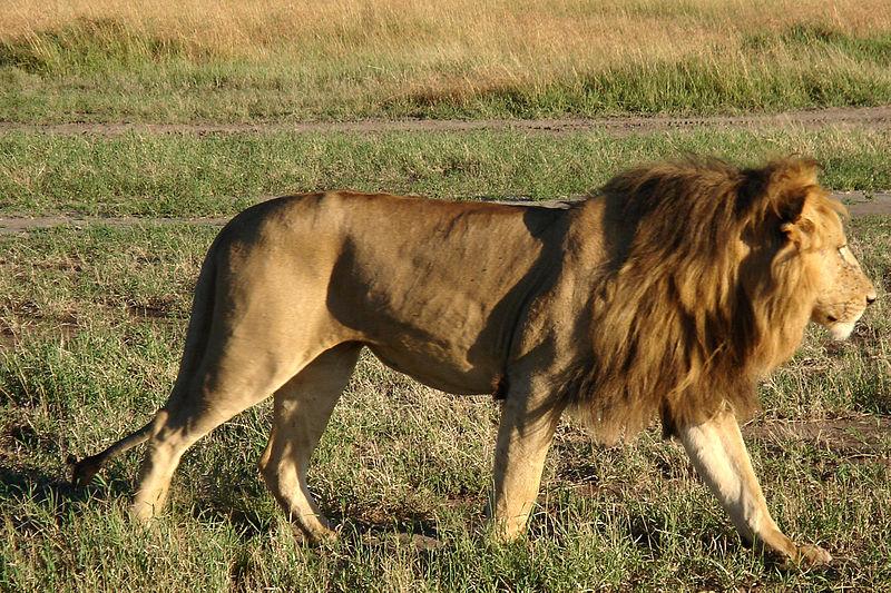 File:African Lion 3.jpg