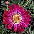 African daisies.jpg