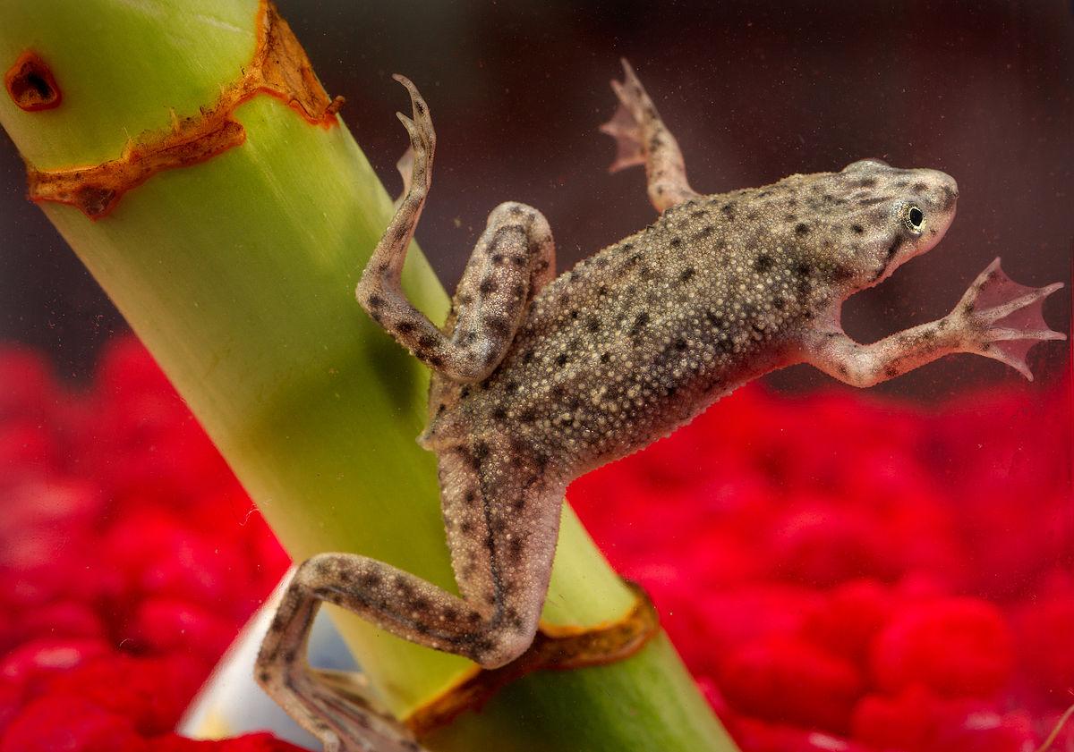 Aquatic frog - photo#5