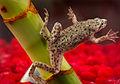 African dwarf frog.jpg