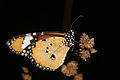 African monarch danaus chrysippus.jpg
