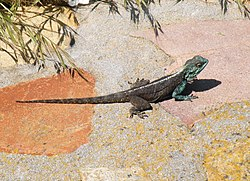Agama atra - Southern Rock Agama - Cape Town - South Africa 1.JPG