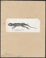 Agama orbicularis - 1700-1880 - Print - Iconographia Zoologica - Special Collections University of Amsterdam - UBA01 IZ12700083.tif