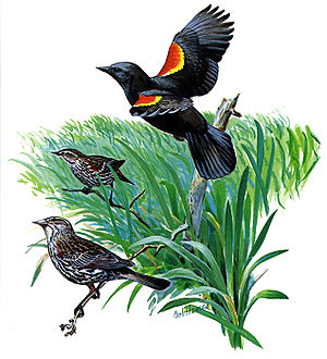 Red-winged Blackbird, Agelaius phoeniceus, mal...