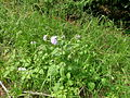 Ageratum houstonianum plant1 (11508973236).jpg