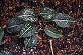 Aglaonema costatum in Tropengewächshäuser des Botanischen Gartens.jpg