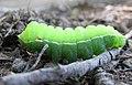 Aglia Tau larva's 4th instar.JPG