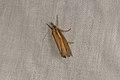 Agriphila tristella (35708388303).jpg