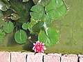 Alba Carolina Fortress 2011 - Water Lilies-2.jpg