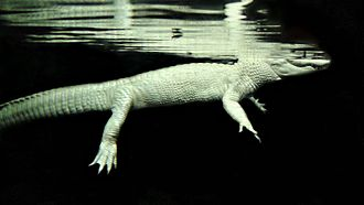 Alligator - A rare albino alligator swimming