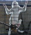 Albino Monkey in Pata Zoo.jpg